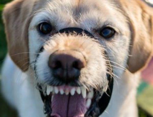 Hilfe – mein Hund knurrt mich an!